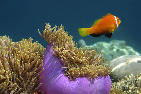 Poster featuring the photograph Maledives Clown Fish by Juergen Held