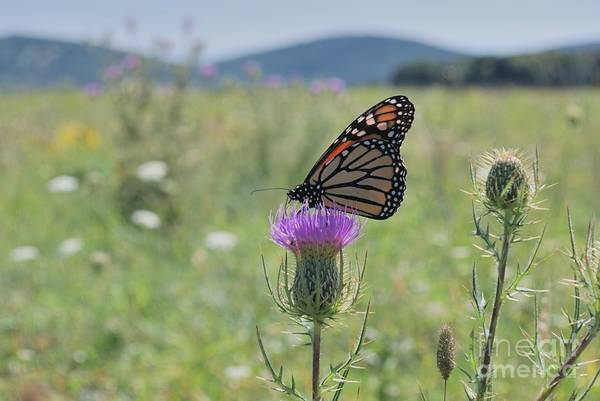 Mountain Meadow Monarch Poster