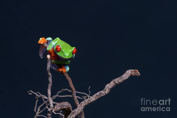 Red Eyed Tree Frog Poster