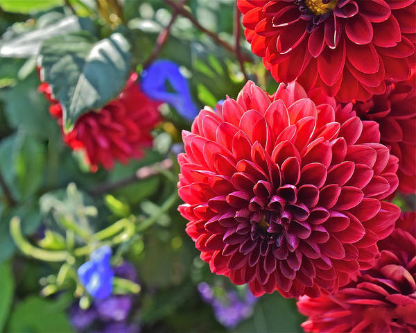 2015 Mid September At The Garden Dahlias 2 Poster