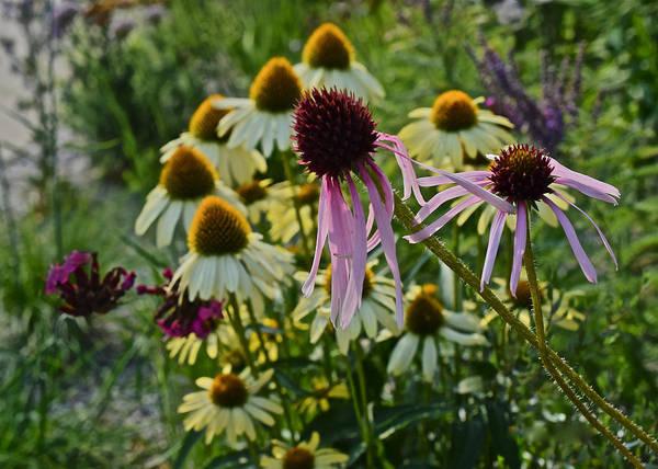 2015 Summer At The Garden Coneflowers Poster