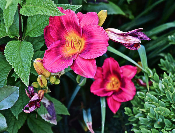 2015 Summer At The Garden Strawberry Candy Daylily 2 Poster