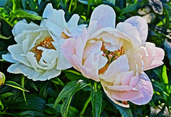 2015 Summer's Eve At The Garden White Peony Duo Poster