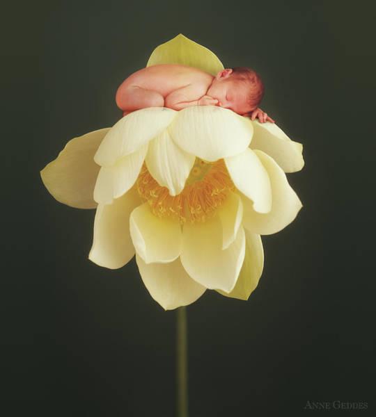 Lotus Bud Poster