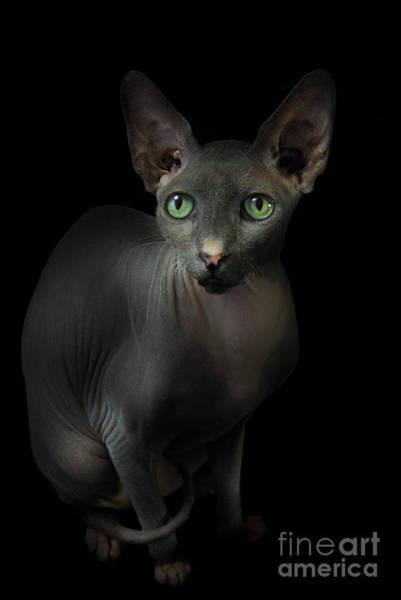 Sphynx Cat Portrait Poster