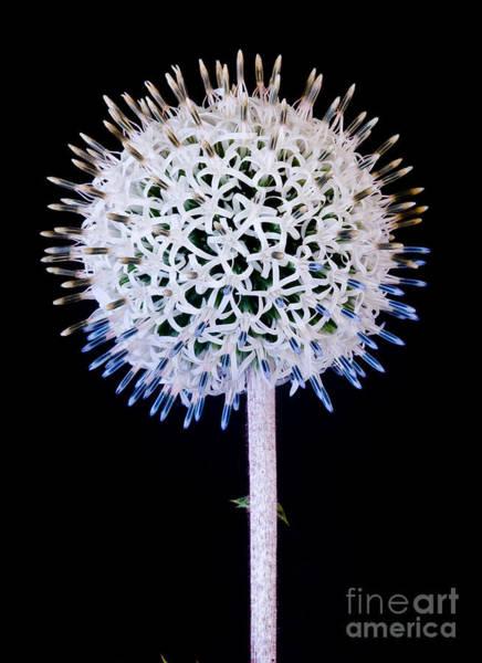 White Alium Onion Flower Poster