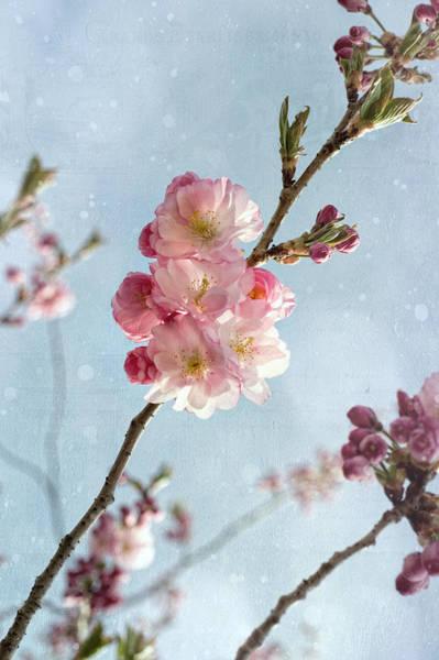 Cherrie Blossom Poster
