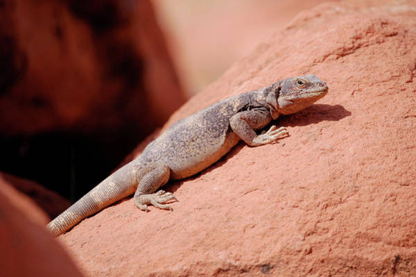Poster featuring the photograph Chuckwalla, Sauromalus Ater by Breck Bartholomew