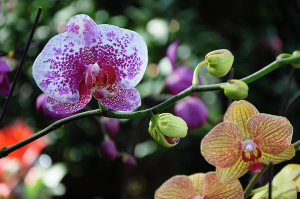 Butterfly Orchid Flowers Poster