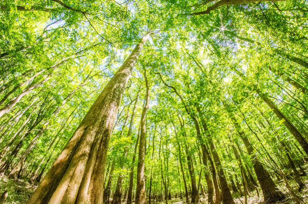 cypress forest and swamp of Congaree National Park in South Caro Poster