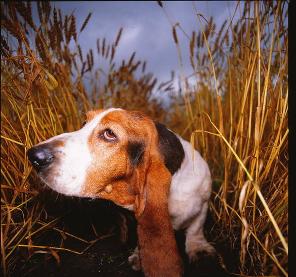 A Basset Hound In Wheat Field Poster