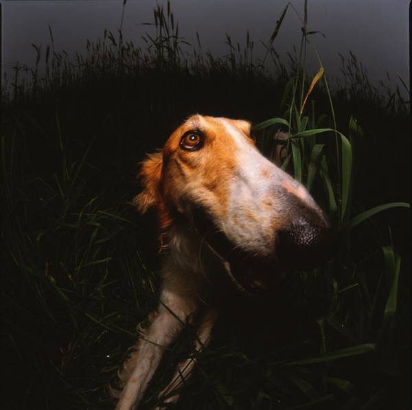 A Borzoi In The Field Poster