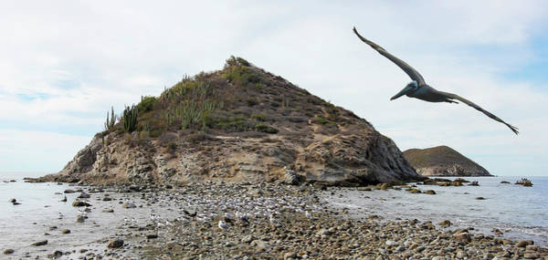 A Brown Pelican Does A Flyby Of A Cactus Covered Desert Island  Poster