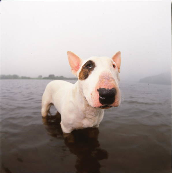 A Bull Terrier In Water Poster