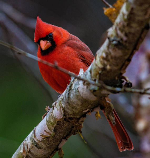 A Cardinal In Spring   Poster