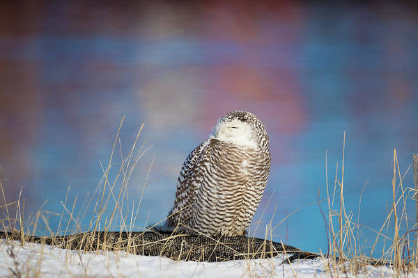 A Colorful Snowy Owl Poster