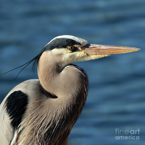 A Great Blue Heron Posing Poster