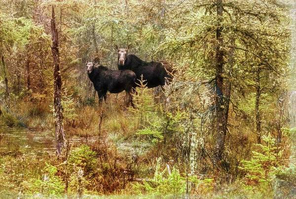 A Mother And Calf Moose. Poster