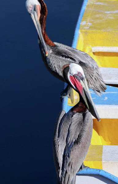 A Pair Of Brown Pelicans On A Blue And Yellow Rowboat Poster