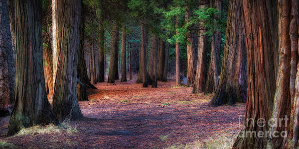 A Path Of Redwoods Poster