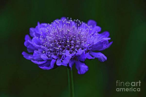 A Sweet Scabiosa Poster
