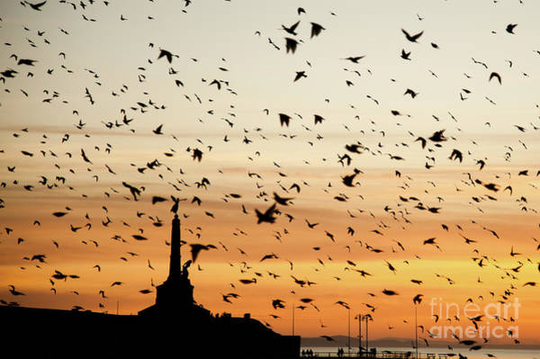 Aberystwyth Starlings At Dusk Flying Over The War Memorial Poster