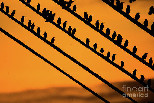 Aberystwyth Starlings At Dusk Poster