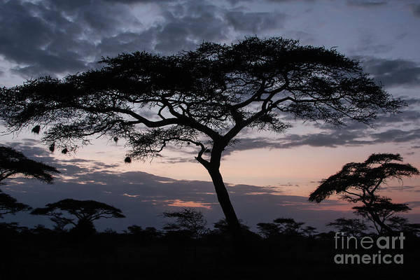 Acacia Trees Sunset Poster