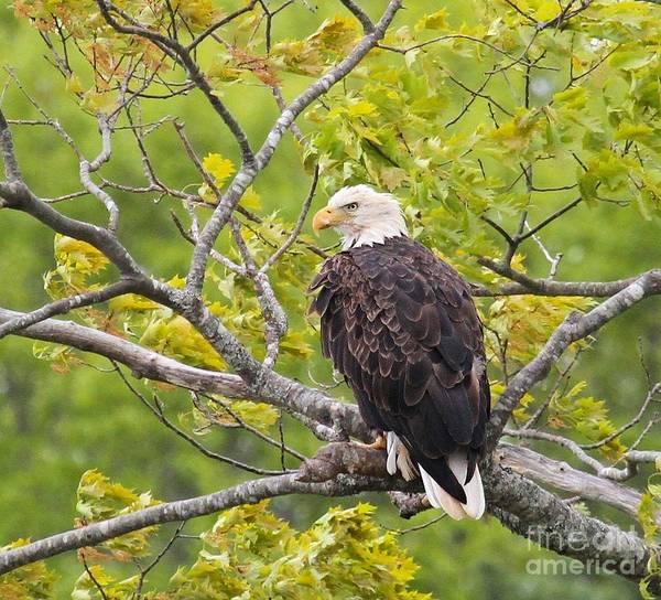 Adult Bald Eagle Poster