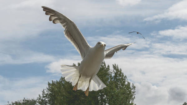 Adult Seagull In Flight Poster