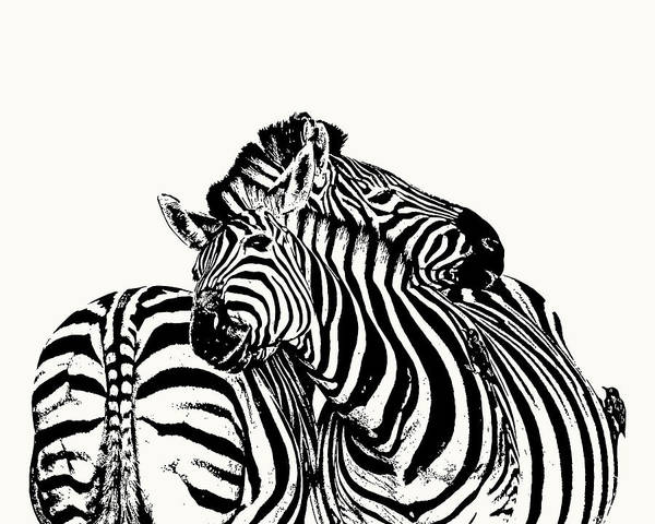 Affectionate Zebra Pair Poster