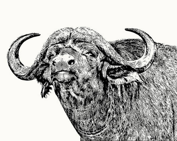 African Buffalo Bull Portrait Poster