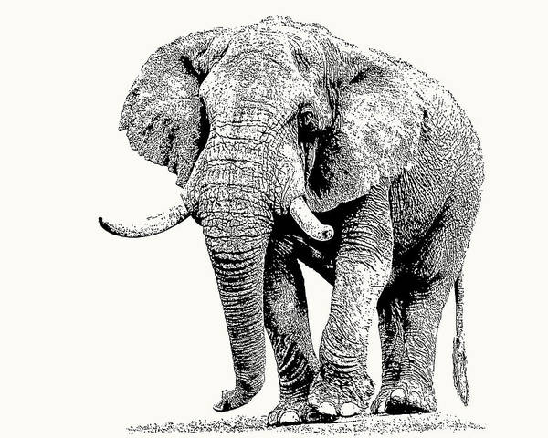 African Bull Elephant With Fine Tusks Poster