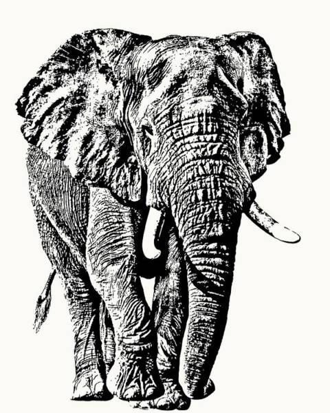 African Elephant Bull, Full Figure Poster