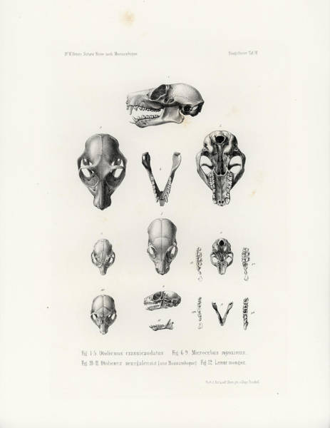Poster featuring the drawing African Mammal Skulls by Hugo Troschel
