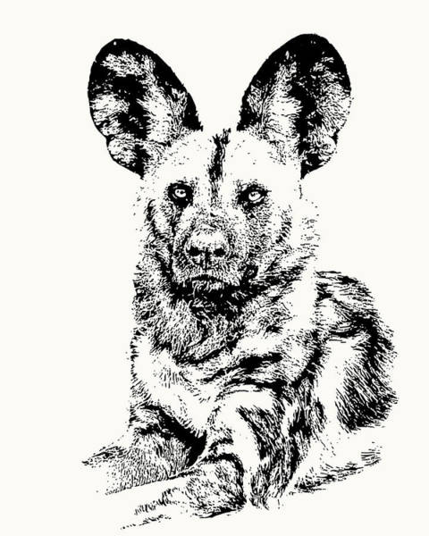 African Painted Dog Making Eye Contact Poster
