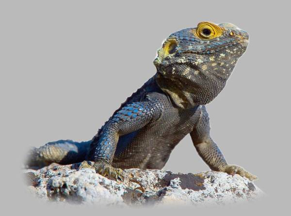 Agama Basking On A Rock T-shirt Poster
