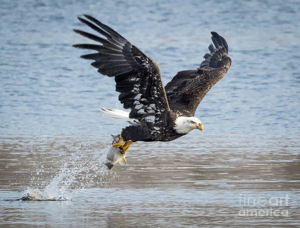 American Bald Eagle Taking Off Poster