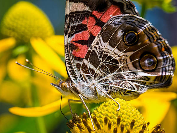 American Lady Butterfly Poster