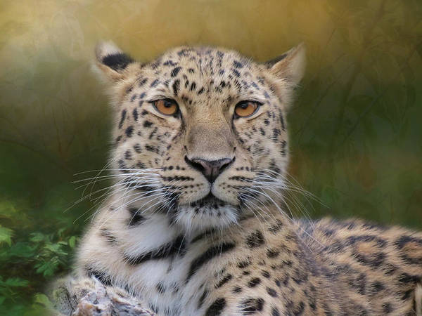 Poster featuring the photograph Amur Leopard by Patti Deters