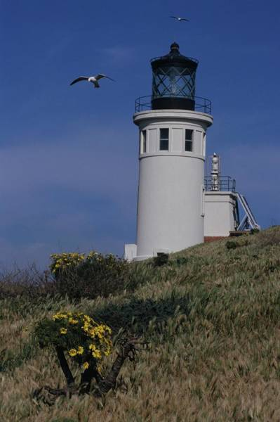 Anacapa Lighthouse And Western Gulls Poster