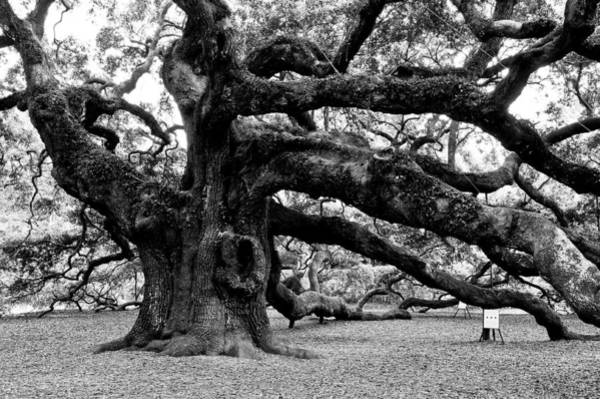 Angel Oak Tree 2009 Black And White Poster