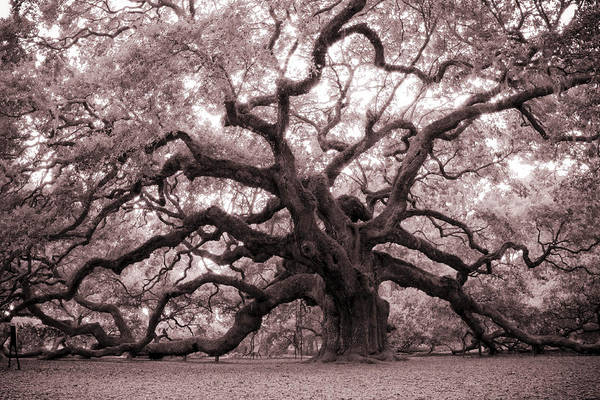Angel Oak Tree Poster