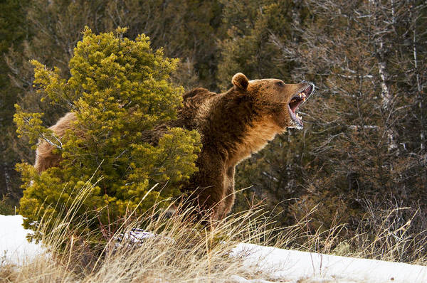 Angry Grizzly Behind Tree Poster