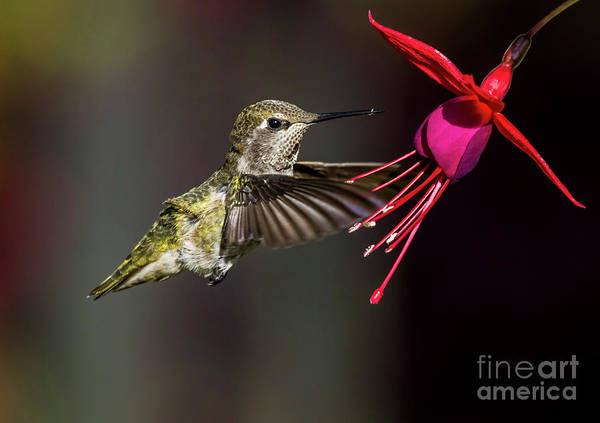 Anna Juvenile Hummingbird Poster