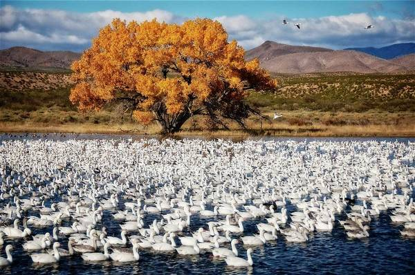 Annual Snow Geese Meet-up, Bosque Del Apache, New Mexico Poster