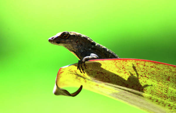 Anole In Green Poster