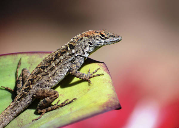 Anole In Rose Poster
