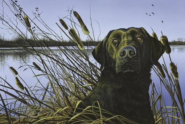 Anticipation - Black Lab Poster