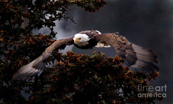 Approaching Eagle-unsigned-#4476 Poster